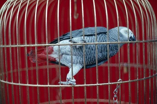 Stock Photo: 4141-35109 african grey parrot in cage psittacus erithacus