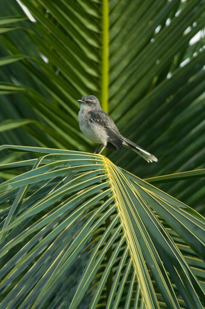 Stock Photo: 4141-3518 tropical mockingbird mimus gilvus trinidad