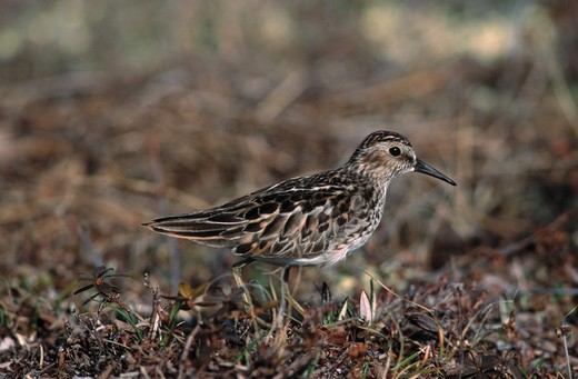 Stock Photo: 4141-35262 least sandpiper calidris minutilla churchill, manitoba, canada.