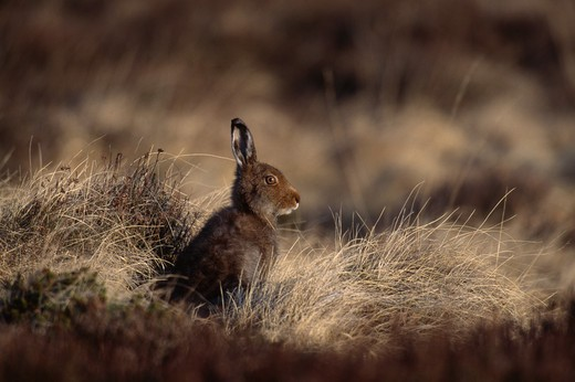 mountain hare in summer coat lepus timidus scotland may : Stock Photo
