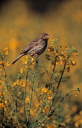 Stock Photo: 4141-35495 corn bunting on oil-seed rape emberiza calandra essex, england may