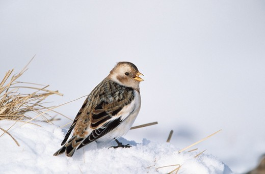 Stock Photo: 4141-35607 snow bunting on snow plectrophenax nivalis cairngorms, scotland february