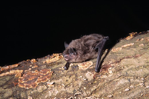 serotine bat eptesicus serotinus echo-locating : Stock Photo