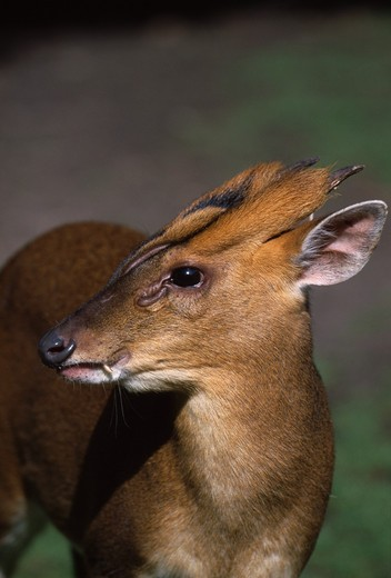 Stock Photo: 4141-35637 reeve's muntjac male, head detail muntiacus reevesi otter trust, norfolk, england. september