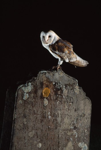barn owl perched on gravestone tyto alba yorkshire, england : Stock Photo