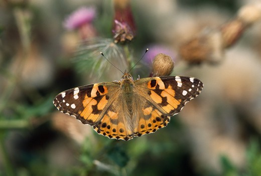 Stock Photo: 4141-35765 painted lady butterfly on thistle vanessa cardui wings open essex, england. july.