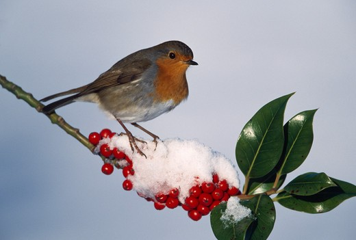 Stock Photo: 4141-35780 robin on holly in snow erithacus rubecula essex, england january