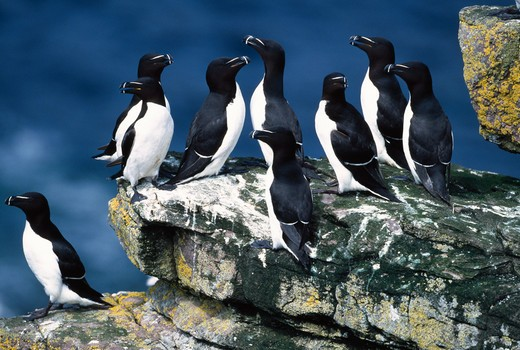 Stock Photo: 4141-35807 razorbill group alca torda handa island, scotland. june.