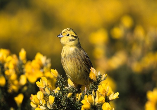Stock Photo: 4141-35847 yellowhammer on gorse emberiza citrinella suffolk, england april