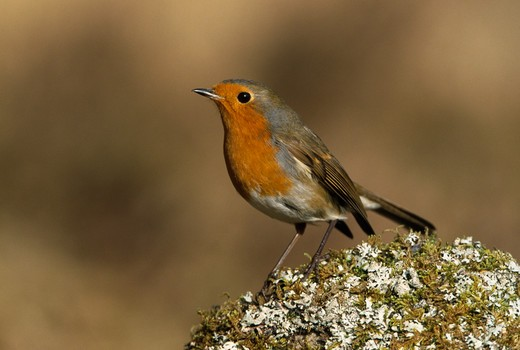 Stock Photo: 4141-35904 robin on mossy stone erithacus rubecula february. scotland