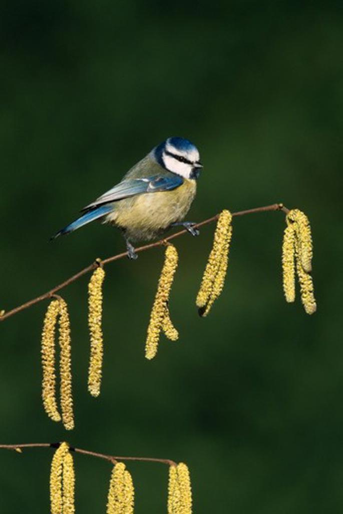 Stock Photo: 4141-35911 blue tit on hazel catkins parus caeruleus march, garden. essex, england