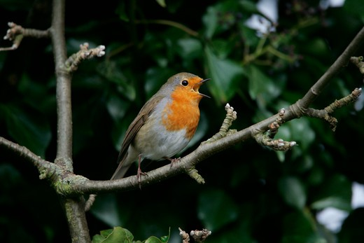 Stock Photo: 4141-35987 robin singing erithacus rubecula essex, uk