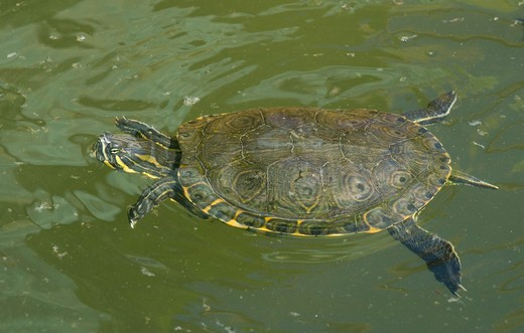 baja california slider turtle trachemys scripta nebulosa captive, baja california, mexico. : Stock Photo