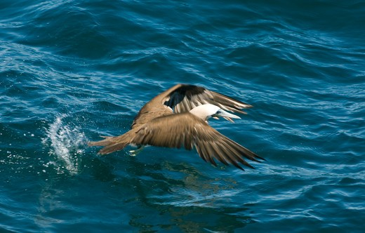 Stock Photo: 4141-3607 brown booby sula leucogaster taking off sea of cortes, baja california, mexico.