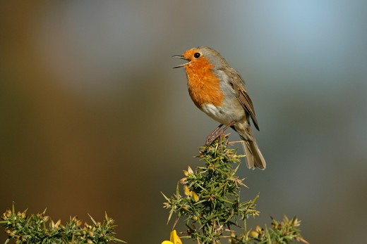 robin singing perched on gorse erithacus rubecula suffolk, uk. may  : Stock Photo