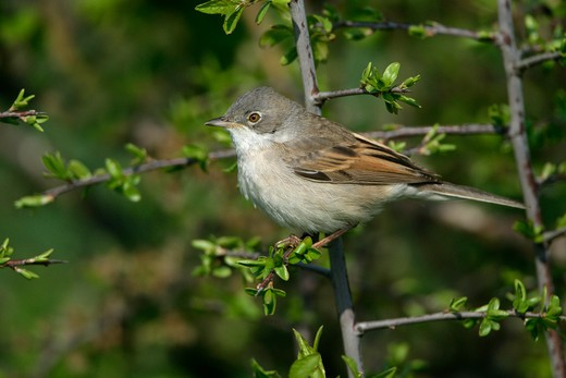 Stock Photo: 4141-36224 whitethroat male sylvia communis essex, uk. may