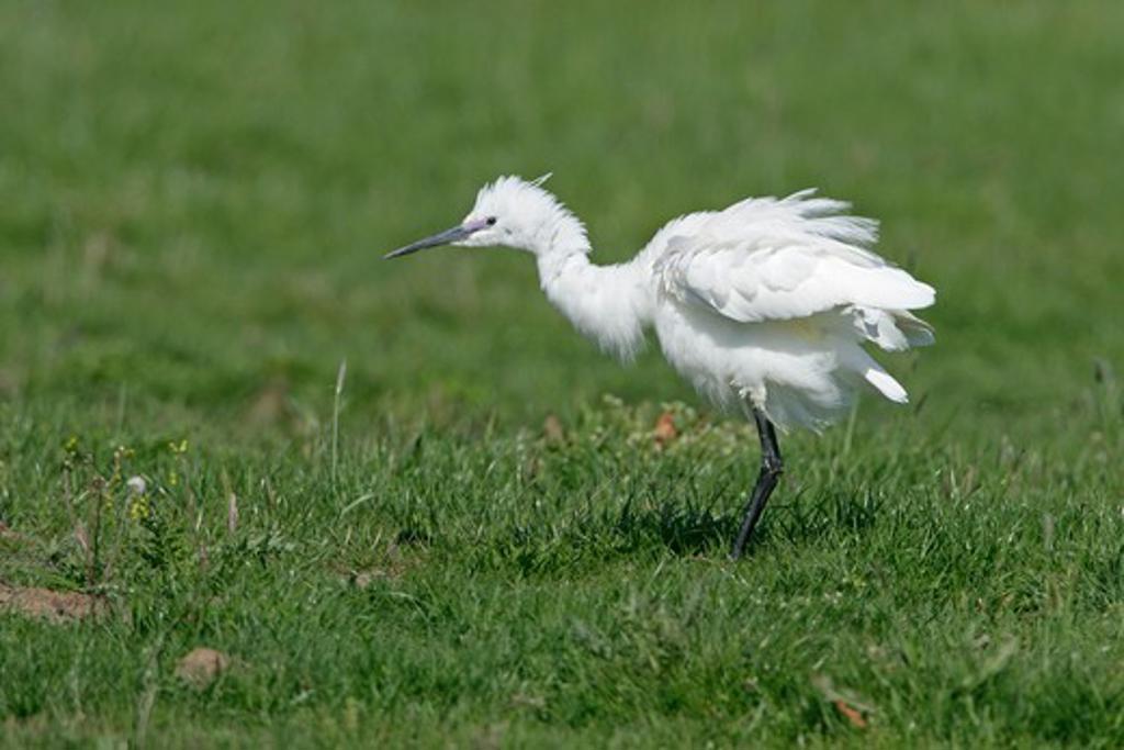 little egret egretta garzetta shaking feathers elmley marshes, kent, uk april : Stock Photo