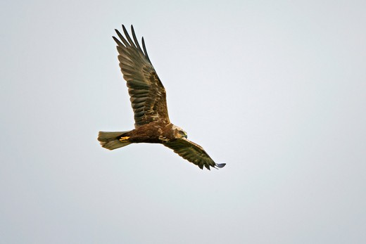 Stock Photo: 4141-36523 marsh harrier circus aeruginosus female in flight minsmere rspb reserve may