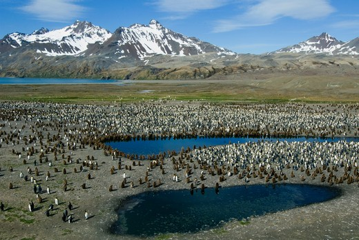 king penguin colony, aptenodytes patagonicus, south georgia island, sub-antarctic : Stock Photo