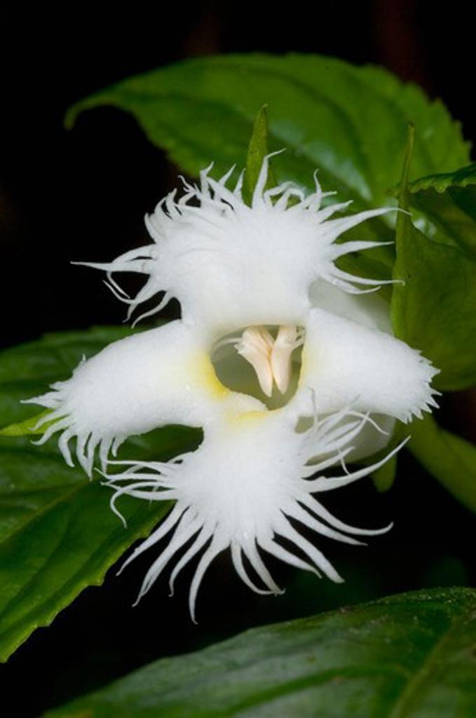 Stock Photo: 4141-3705 white gesnaria flower (drymonia lanceolata) poas volcano area, costa rica