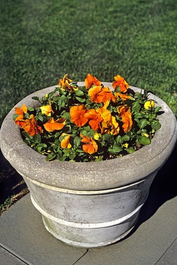 Stock Photo: 4141-37169 viola 'pansy'. pansies in container