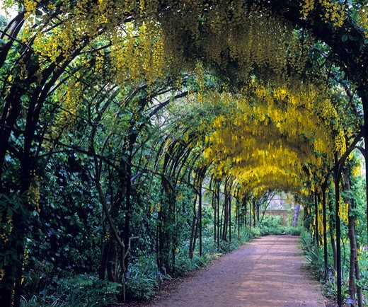 Stock Photo: 4141-37278 the laburnum pergola walkway with masses of yellow flower at rbg kew, london.