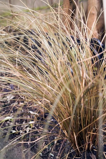 carex flagellifera (weeping brown new zealand sedge) : Stock Photo