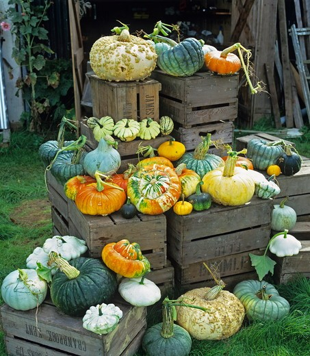 Stock Photo: 4141-37423 pumpkins displayed on wooden crates