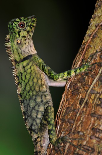 Stock Photo: 4141-37539 bell's anglehead lizard gonocephalus bellii, female, danum valley, sabah, borneo, malaysia