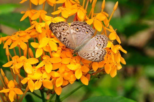 Stock Photo: 4141-37584 grey pansy, junonia atlites feeding on flower, danum valley, sabah, borneo, malaysia