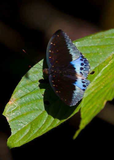 Stock Photo: 4141-37753 archduke butterfly (lexias pardalis) khao sok national park, souther thailand.