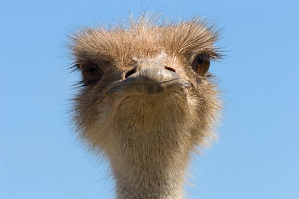 ostrich head detail (struthio camelus) captive : Stock Photo