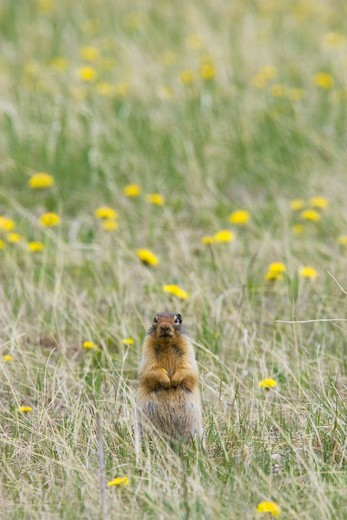 columbian ground squirrel - standing upright on lookout for danger, spermophilus columbianus, rocky mountains, alberta, canada  : Stock Photo