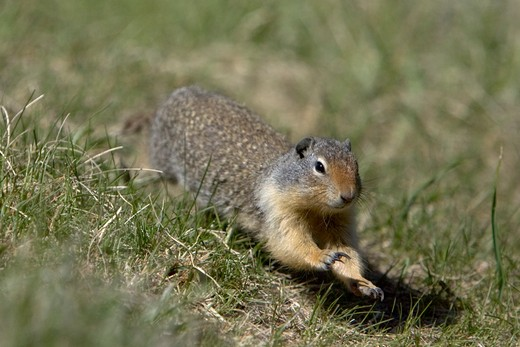 columbian ground squirrel, spermophilus columbianus, running, rocky mountains, alberta, canada  : Stock Photo