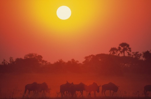 wildebeest connochaetes taurinus group silhouetted at sunset : Stock Photo