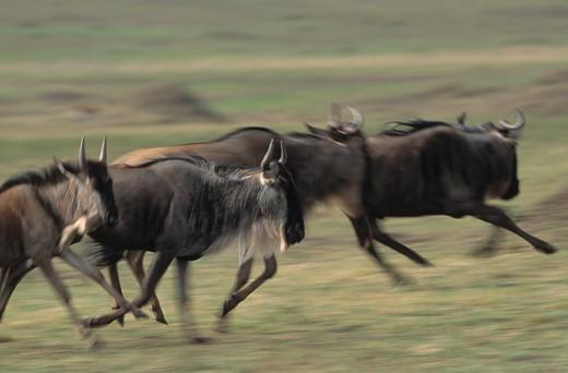 Stock Photo: 4141-3903 wildebeest or white-bearded gnu connochaetes taurinus albojubatus group running masai mara national reserve, kenya