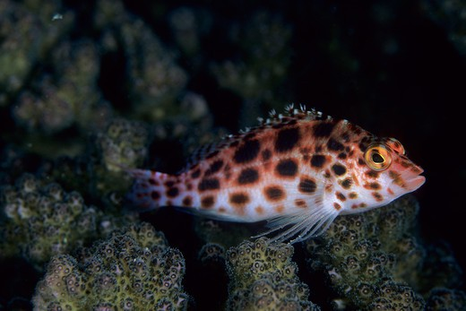 spotted hawkfish, cirrhitichthys oxycephalus, aldabra atoll, natural world heritage site, seychelles, indian ocean date: 24.06.08 ref: zb777_115630_0032 compulsory credit: oceans-image/photoshot  : Stock Photo