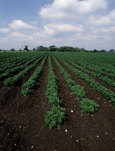 Stock Photo: 4141-39888 potato crop on grade one agricultural land, lancashire, north west england.