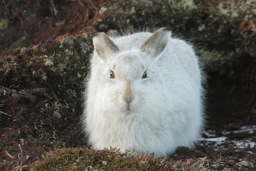 Stock Photo: 4141-39896 mountain hare, lepus timidus, winter coat, on moor, strathdearn, highland, scotland, uk. dec.