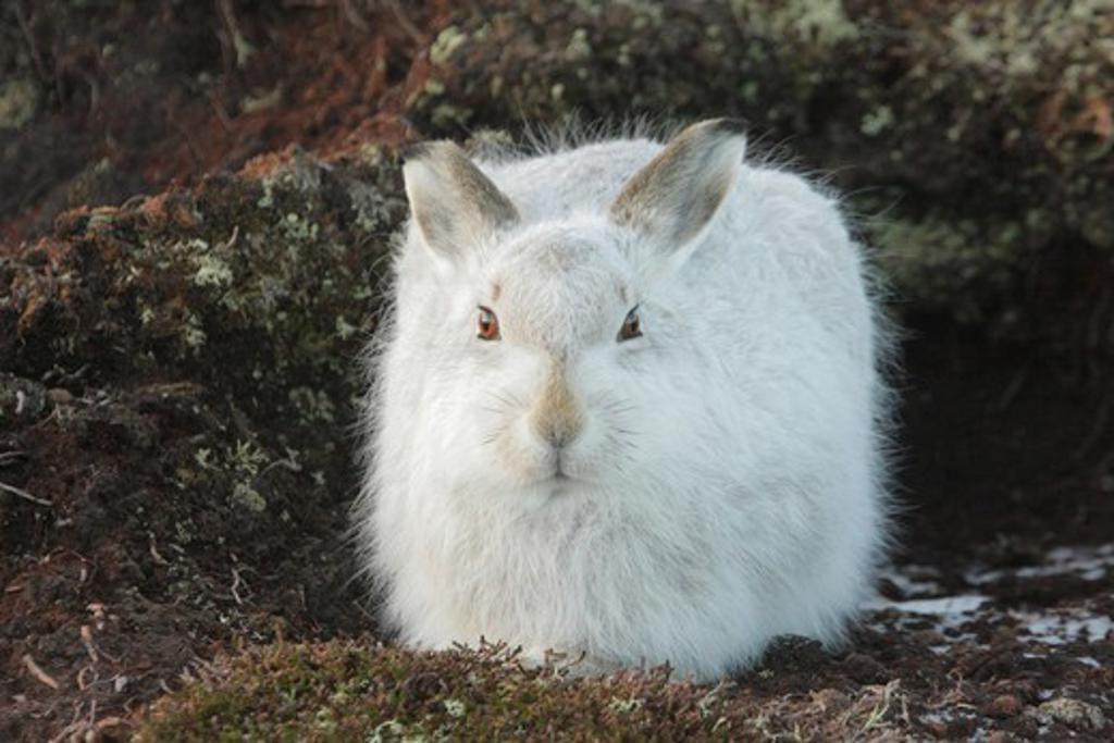 mountain hare, lepus timidus, winter coat, on moor, strathdearn, highland, scotland, uk. dec.  : Stock Photo