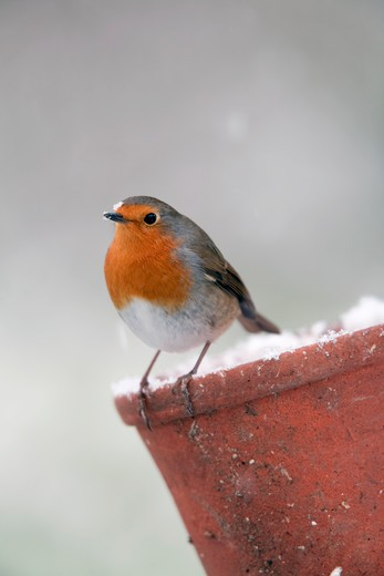 Stock Photo: 4141-40494 robin; erithacus rubecula; on plant pot in snow