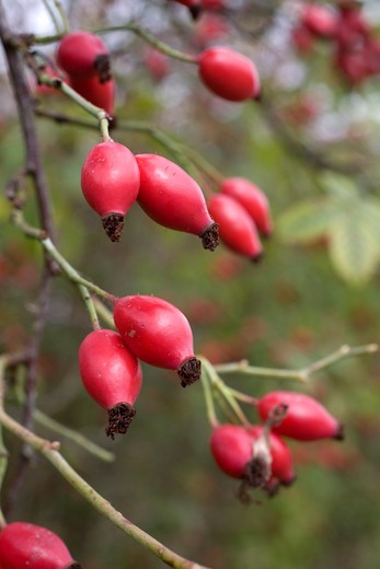rose hips; autumn; cornwall : Stock Photo