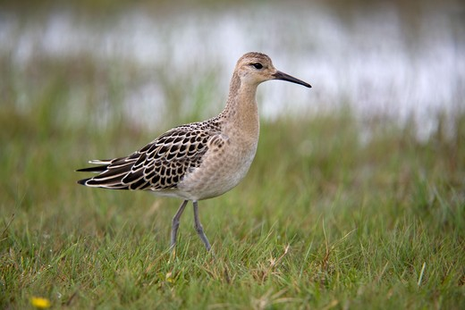 Stock Photo: 4141-40509 ruff; philomachus pugnax