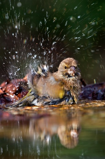 Stock Photo: 4141-40743 greenfinch, female, carduelis chloris, bathing in garden pond,