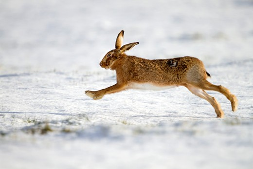 brown hare, lepus capensis, running through snow, lincolnshire : Stock Photo