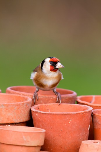 Stock Photo: 4141-40973 goldfinch, carduelis carduelis, on garden plant pot