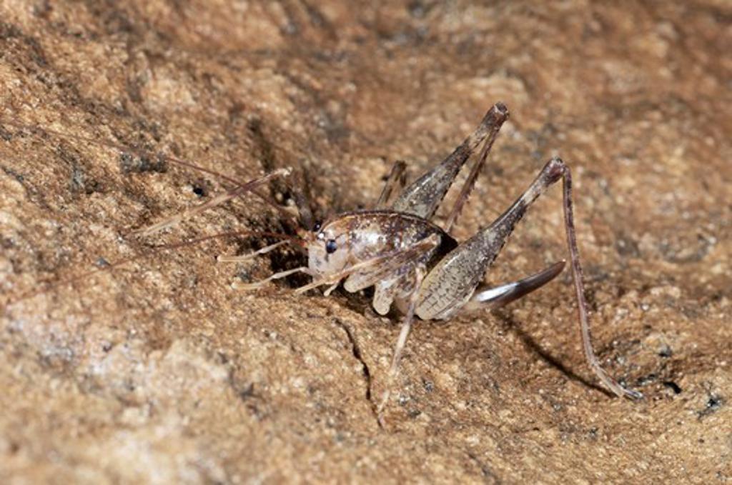 Stock Photo: 4141-41124 cave cricket (troglophilus cavernicole) krizna jama karst cave system, loska dolina, slovenia date: 06.11.2008 ref: zb812_123820_0101 compulsory credit: nhpa/photoshot