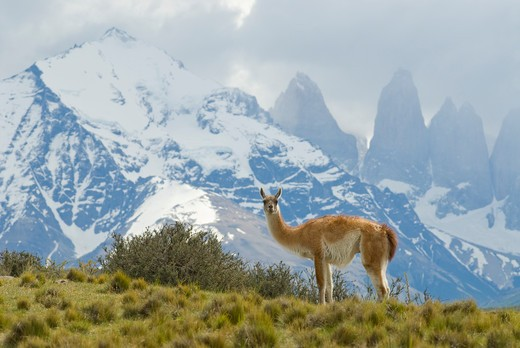 guanaco with cuernos in background, torres del paine national park, region 12, chile, patagonia : Stock Photo