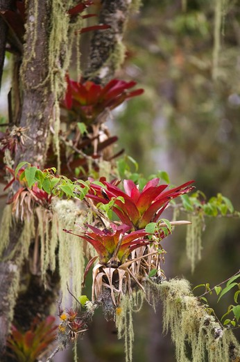 bromeliads growing in the ruins of kuelap, a chachapoyan pre-inca village, in the andes, nr chachapoyas, peru. : Stock Photo