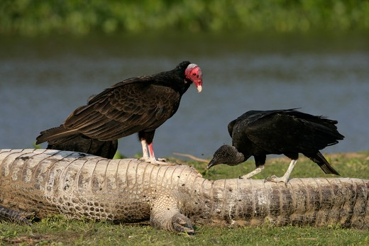 Stock Photo: 4141-41473 turkey vulture, cathartes aura and american black vulture coragyps atratus, brazil, on caiman